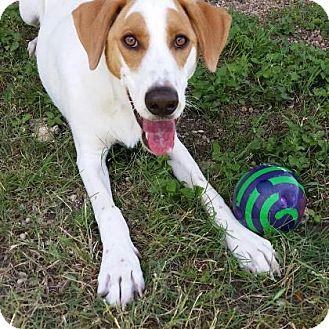 Labrador Retriever Mix Dog for adoption in Killeen, Texas - Eugene