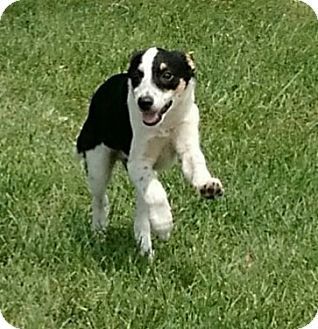 Border Collie/Beagle Mix Puppy for adoption in Macomb, Illinois - Mountie