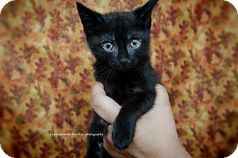 Domestic Shorthair Kitten for adoption in Marlton, New Jersey - Morticia