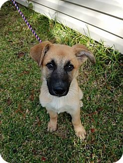 German Shepherd Dog Puppy for adoption in Plano, Texas - Bourbon