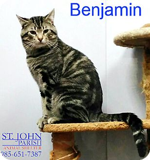 Domestic Shorthair Cat for adoption in Laplace, Louisiana - Benjamin
