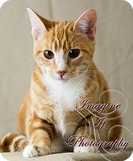 Domestic Shorthair Cat for adoption in Oklahoma City, Oklahoma - Lucas