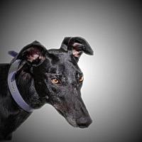 Adopt A Pet :: Find - Woodinville, WA