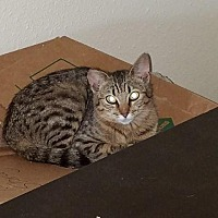 Adopt A Pet :: Tomasina - Sacramento, CA