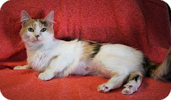 Calico Cat for adoption in Greensboro, North Carolina - Saffron