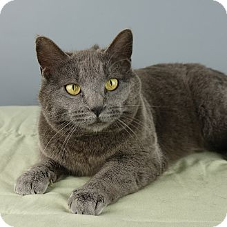 Domestic Shorthair Cat for adoption in Columbia, Illinois - Ashley