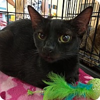 Bombay Cat for adoption in Maryville, Tennessee - Lexi
