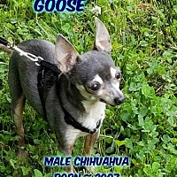 Chihuahua Dog for adoption in Huddleston, Virginia - Goose