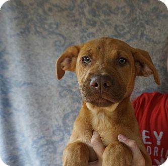 Boxer/Vizsla Mix Puppy for adoption in Oviedo, Florida - Gold