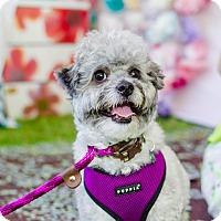 Adopt A Pet :: Radley - Los Angeles, CA