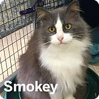 Domestic Longhair Cat for adoption in Winchendon, Massachusetts - Smokey