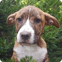 Adopt A Pet :: Cricket - Medora, IN