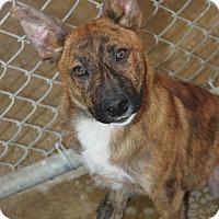 Adopt A Pet :: Bronson - Hooksett, NH