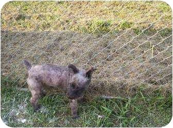 Schnauzer (Miniature) Dog for adoption in Ward, Arkansas - Curly