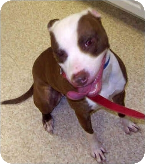 Pit Bull Terrier Mix Dog for adoption in Troy, Michigan - Baby Girl