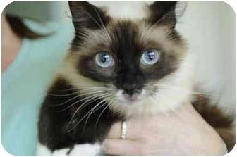 Birman Cat for adoption in Columbus, Ohio - Portia