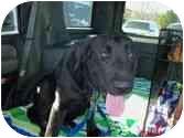 Labrador Retriever Dog for adoption in San Diego, California - MAX