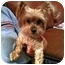 Photo 1 - Yorkie, Yorkshire Terrier Dog for adoption in Tallahassee, Florida - Coopie