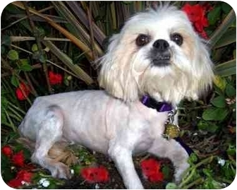 Lhasa Apso Dog for adoption in Los Angeles, California - HONEE