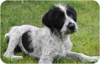 Labrador Retriever/Pointer Mix Puppy for adoption in Yuba City, California - Kevin