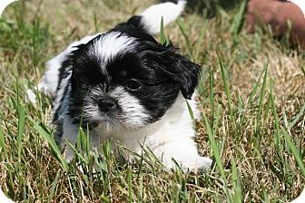 Shih Tzu Mix Puppy for adoption in Kalamazoo, Michigan - Daisy