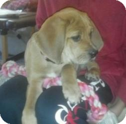 Beagle/Basset Hound Mix Puppy for adoption in Marlton, New Jersey - Macey