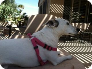 Jack Russell Terrier Dog for adoption in Scottsdale, Arizona - LUCY IV