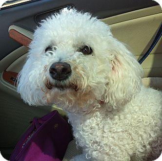 Bichon Frise Dog for adoption in Minnetonka, Minnesota - Joey