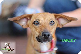 Corgi/Dachshund Mix Dog for adoption in Alpharetta, Georgia - Harley