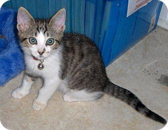 Domestic Shorthair Kitten for adoption in Richmond, Virginia - Roxy