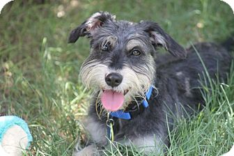 Schnauzer (Standard) Mix Dog for adoption in Austin, Texas - Nebraska