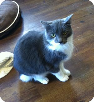 Domestic Shorthair Cat for adoption in Greensburg, Pennsylvania - Tazzie
