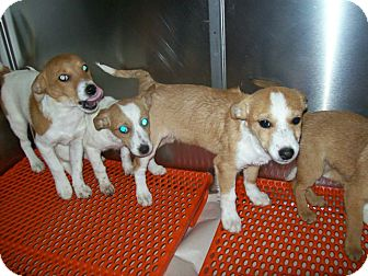 Chihuahua/Jack Russell Terrier Mix Puppy for adoption in Ravenna, Kentucky - chijack pups