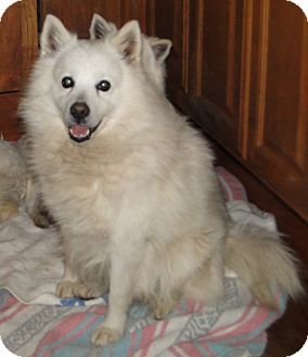Spitz (Unknown Type, Small) Dog for adoption in Columbus, Indiana - Frost