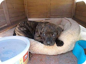Labrador Retriever/American Pit Bull Terrier Mix Puppy for adoption in Fort Lauderdale, Florida - Mila