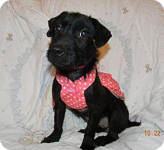 Patterdale Terrier (Fell Terrier) Dog for adoption in Chester, Illinois - Elvira