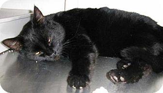 Domestic Shorthair Cat for adoption in Salem, Oregon - Madeline