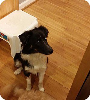 Border Collie Mix Puppy for adoption in Richmond, Virginia - ARYA -- COURTESY