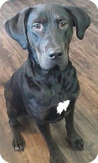 Labrador Retriever/Pit Bull Terrier Mix Dog for adoption in Regina, Saskatchewan - Jelly Bean - Adoption Pending!