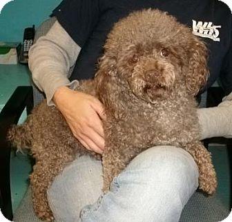 Poodle (Miniature) Dog for adoption in Newburgh, Indiana - Mocha- Pure !