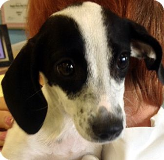 Dachshund Mix Puppy for adoption in Las Vegas, Nevada - Lacey