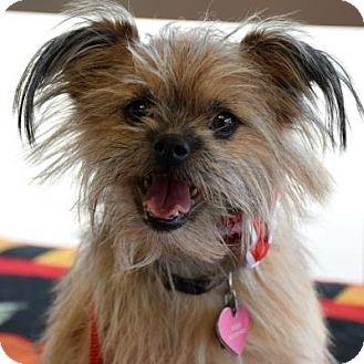 Brussels Griffon Mix Dog for adoption in Denver, Colorado - Poppi
