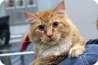 Maine Coon Cat for adoption in St. Louis, Missouri - Redd Foxx