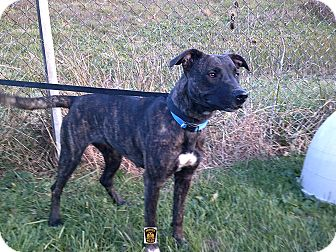 Shepherd (Unknown Type)/Mountain Cur Mix Dog for adoption in Moberly, Missouri - Minnie