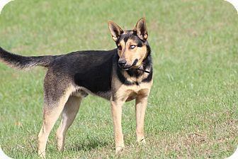 German Shepherd Dog Mix Dog for adoption in Portland, Maine - Yoshi