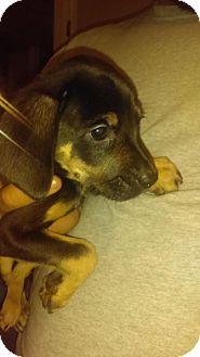 Basset Hound/Golden Retriever Mix Dog for adoption in PEORIA, Arizona - Comet