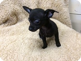 Chihuahua Mix Puppy for adoption in Elk Grove, California - SOTO