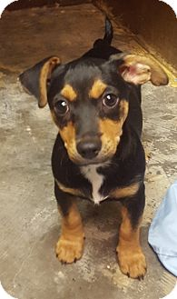Dachshund Mix Puppy for adoption in Deer Park, Texas - Charlie Brown