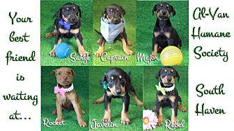 Doberman Pinscher/German Shepherd Dog Mix Puppy for adoption in South Haven, Michigan - Doberman-Shepherd mix puppies