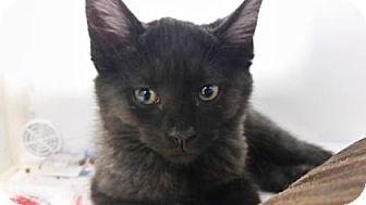 Domestic Shorthair Kitten for adoption in Reisterstown, Maryland - Adalind